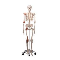 Skelett A12