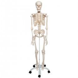 Skelett A10