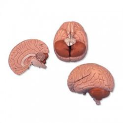 Hjärna C15