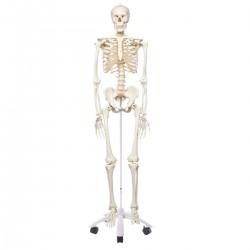 """Skelett A10 """""""