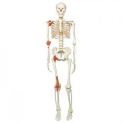 """Skelett A12 """""""