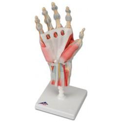Handled med ligament och muskler M33/1