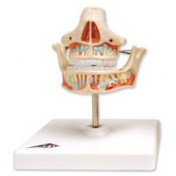 Tänder Mjölktänder VE282