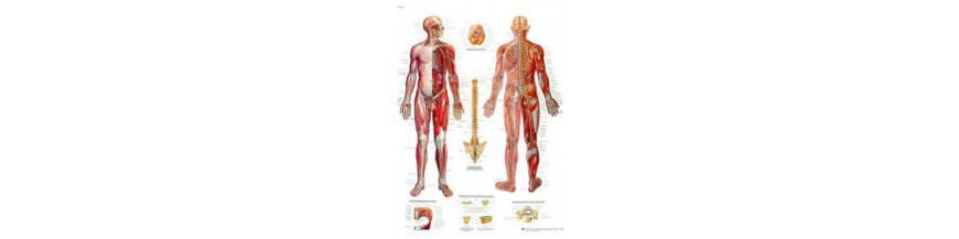 Anatomiska planscher
